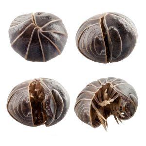 pill-bugs